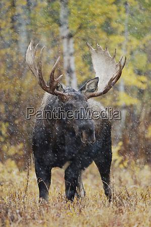 moose alces alces bull in snowstorm