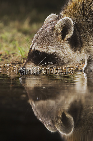 northern raccoon procyon lotor adult at