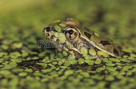 rio grande leopard frog rana berlandieri