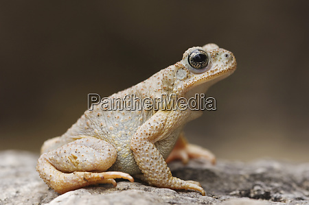 red spotted toad bufo punctatus adult