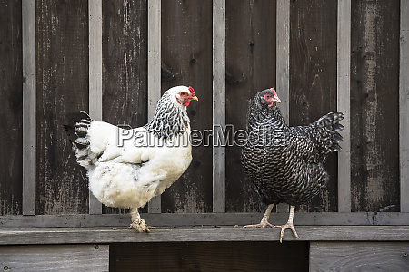 two chickens sitting on fence looking