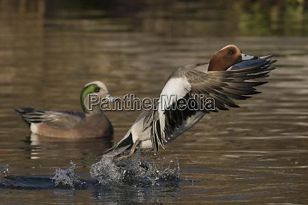 eurasian wigeon flying