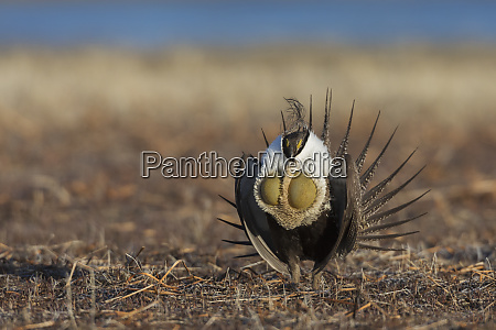 greater sage grouse courtship performance