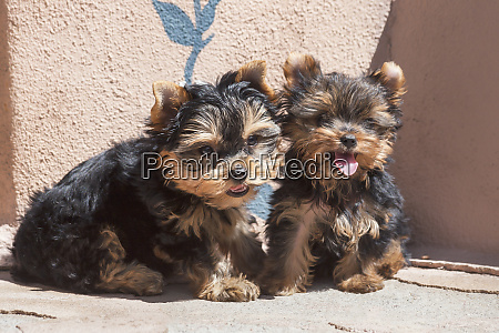 yorkshire terrier puppies sitting