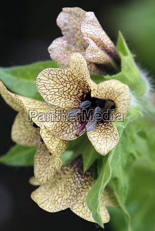 flowers macro black bilsenkraut hyoscyamus niger
