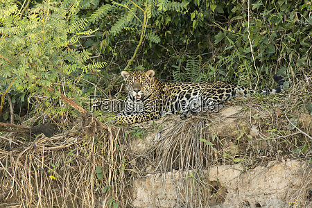 pantanal mato grosso brazil jaguar resting