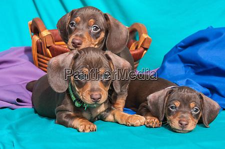 doxen puppies