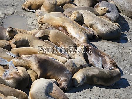 south american sea lion otaria flavescens