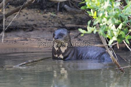brazil mato grosso the pantanal rio