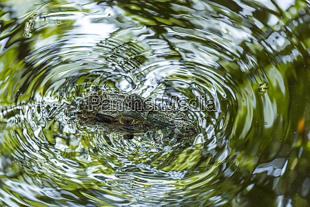 amazonian cayman vibrates the water surface