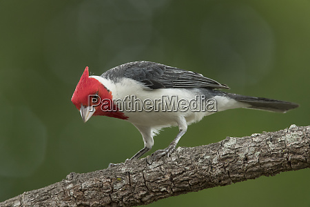 brazil pantanal red crested cardinal on