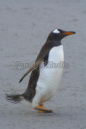 falkland islands saunders island gentoo penguin