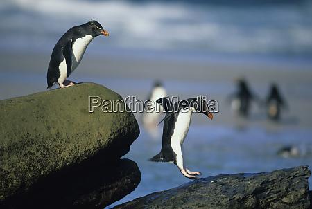 rockhopper penguins eudyptes chrysocome jumping saunders