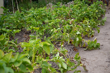 a potato plant bed with lightly