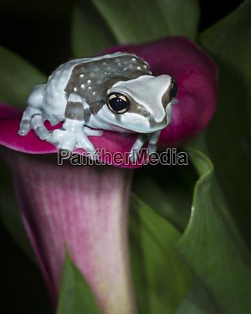 blue milk frog mission golden eye
