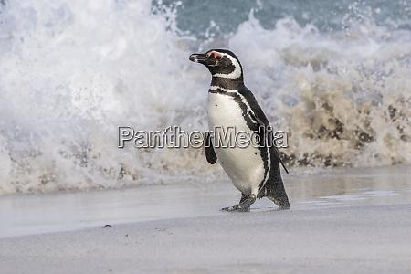 falkland islands bleaker island magellanic penguin