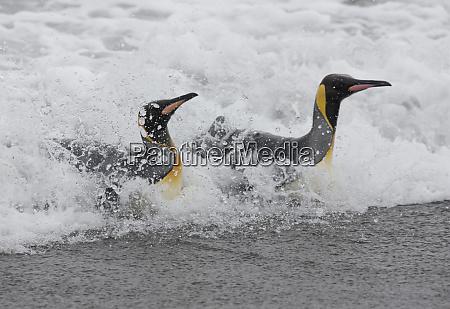 king penguins aptenodytes patagonicus in surf