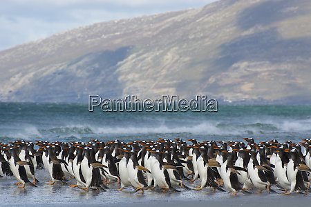 falkland islands saunders island gentoo penguins