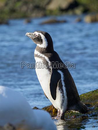 magellanic penguin spheniscus magellanicus at rocky