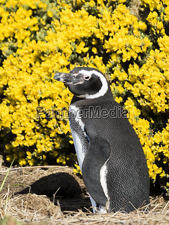 magellanic penguin spheniscus magellanicus at burrow
