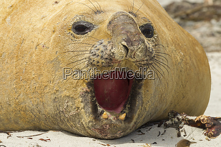 falkland islands sea lion island close