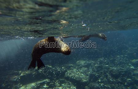galapagos sealion zalophus wollebaeki gardner bay