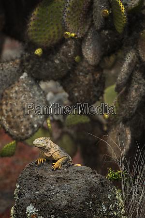 galapagos land iguana conolophus subcristatus south