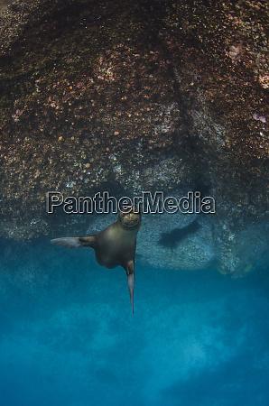 galapagos sea lion zalophus wollebaeki underwater