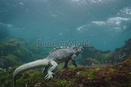marine iguana amblyrhynchus cristatus underwater fernandina
