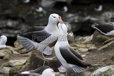 black browed albatross saunders island falkland