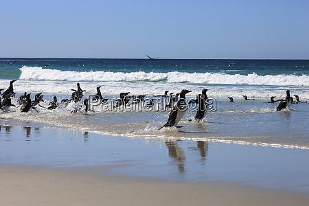 gentoo penguin and magellanic penguins west
