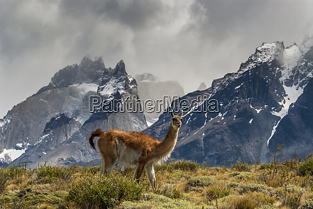 guanaco with cuernos in background torres