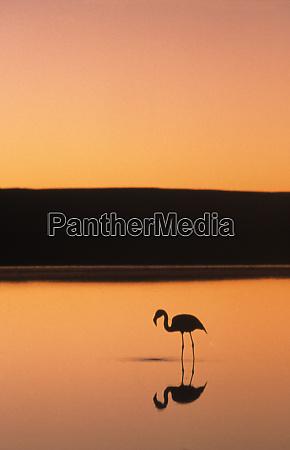wading flamingo at sunset atacama desert