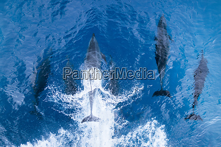 bottlenose dolphins baja california sea of