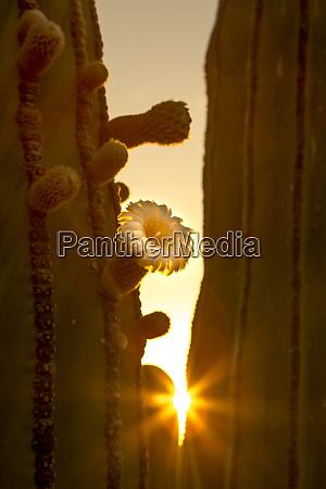 sunrise with sunburst through cactus isla