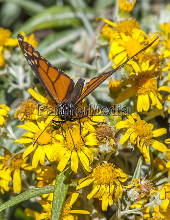 butterfly on wildflower el rosario monarch