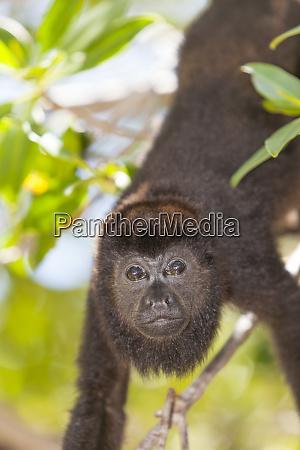 central american howler monkey alouatta palliata