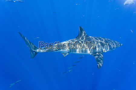 great white shark carcharodon carcharias large