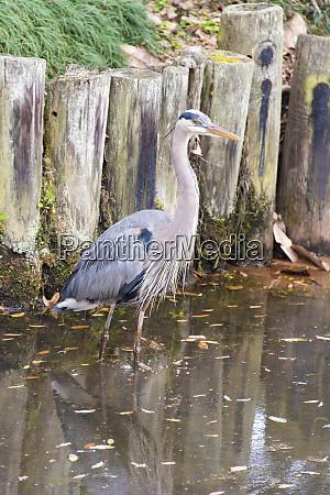 usa alabama great blue heron wades