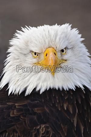 bald eagle portrait bald eagle in