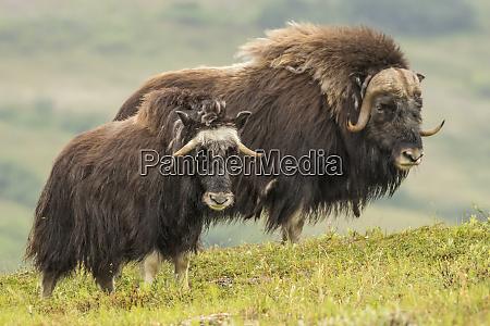 usa alaska nome musk ox adult
