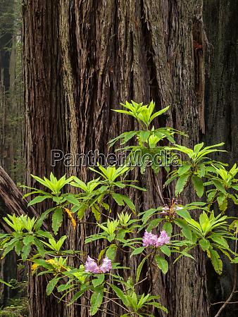 usa california redwood national and state