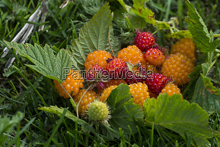 alaska wild golden and red salmonberries