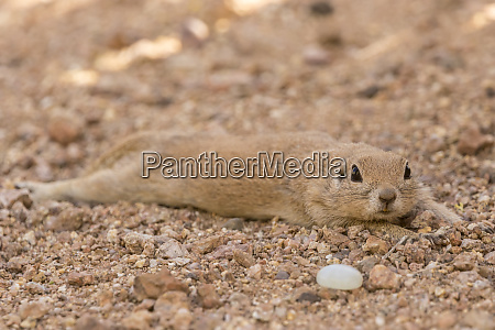 usa arizona sonoran desert round tailed