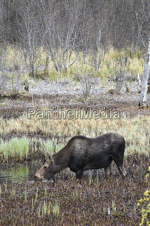 usa alaska moose off seward highway
