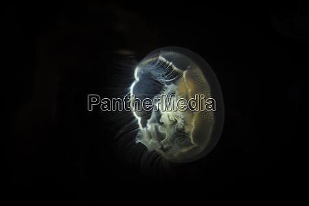 visible bioluminescence shows this moon jellyfish