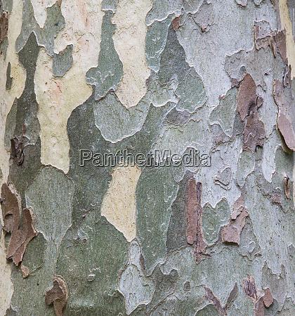 sycamore tree bark design oak creek