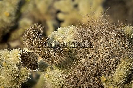 usa arizona buckeye cactus wren flying