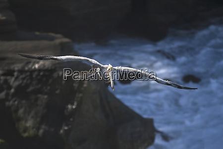 usa california la jolla brown pelican
