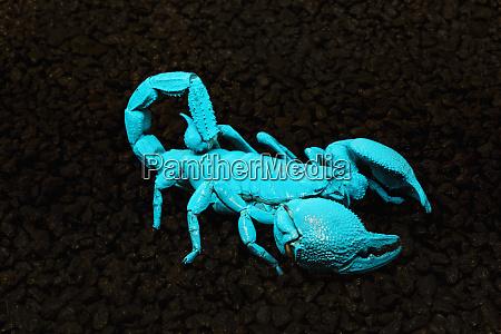 usa california emperor scorpion under black